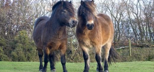 Exmoor-ponies-exmoor-pony-4605126-500-333