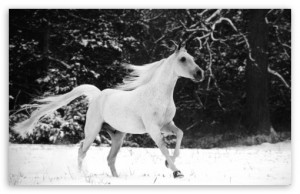 white_horse_running_in_snow-t2
